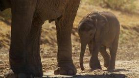 一逗人喜爱的婴孩非洲大象非洲象属africana, Addo大象国家公园,南非 库存照片