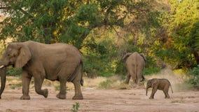 一逗人喜爱的婴孩非洲大象非洲象属africana, Addo大象国家公园,南非 免版税图库摄影