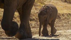 一逗人喜爱的婴孩非洲大象非洲象属africana, Addo大象国家公园,南非 免版税库存图片
