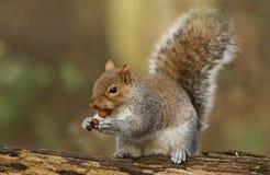 一逗人喜爱的灰色灰鼠Scirius carolinensis的幽默射击与一枚坚果的在它的嘴坐日志 免版税库存图片