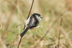 一逗人喜爱的长尾的山雀Aegithalos caudatus在一棵植物的词根栖息接近地面的 库存图片