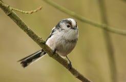 一逗人喜爱的长尾的山雀Aegithalos caudatus在树的一个分支栖息 免版税图库摄影