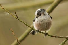 一逗人喜爱的长尾的山雀Aegithalos caudatus在树的一个分支栖息 库存图片