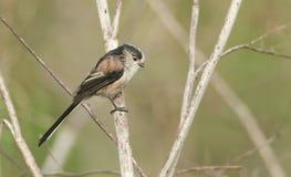 一逗人喜爱的长尾的山雀Aegithalos caudatus在植物栖息 库存照片
