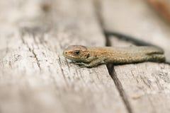一逗人喜爱的婴孩共同的蜥蜴蝎虎座Zootoca vivipara做准备在日志的一只小蠕虫的大小 免版税库存图片