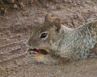 一逗人喜爱的groundhog的特写镜头在沙漠 库存照片