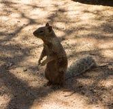 一逗人喜爱的groundhog的特写镜头在沙漠 库存图片