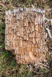 一部分的一个腐烂的树干 免版税图库摄影