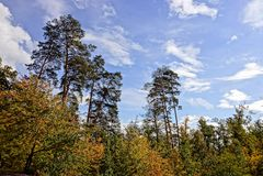 一部分的一棵杉木森林和黄色落叶树反对天空 库存照片