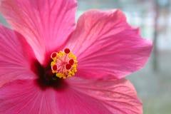 一部分的一棵桃红色木槿开花在雄芯花蕊和雌蕊的焦点 库存照片