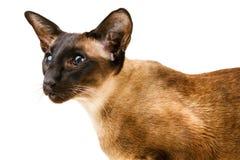 一部分的在一个白色背景特写镜头的东方棕色猫 免版税库存图片