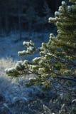 一部分的在一块沼地的一棵绿色圣诞树在一个冬天森林里在一个晴天 免版税库存图片
