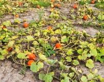 一部分的在收获之前的一个南瓜领域 图库摄影