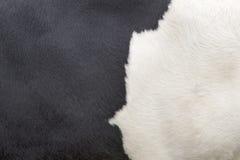 一部分的黑白母牛皮  库存照片
