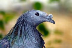 一金属绿色nicobar鸽子caloenas nicobarica的头在外形视图的 库存图片