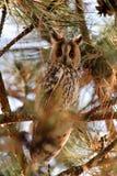 一长耳朵猫头鹰澳大利亚安全情报组织otus的画象 鸟栖所自然摄影通配野生生物 免版税库存图片