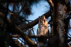 一长耳朵猫头鹰澳大利亚安全情报组织otus的画象 鸟栖所自然摄影通配野生生物 图库摄影