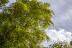 一阵强风吹的柳树的机盖 免版税库存照片