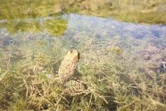 一青蛙 免版税库存图片