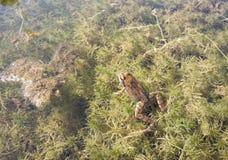 一青蛙 库存图片