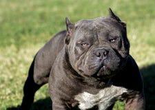 一非常强烈的pitbull 库存图片