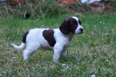 一非常逗人喜爱的年轻小肝脏和白色工作键入英国斯伯林格西班牙猎狗宠物gundog小狗 库存图片