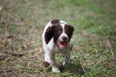 一非常逗人喜爱的年轻肝脏和白色工作键入英国斯伯林格西班牙猎狗宠物gundog小狗赛跑 库存照片