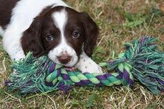一非常逗人喜爱的年轻肝脏和白色工作键入英国斯伯林格西班牙猎狗宠物gundog小狗 免版税图库摄影