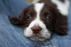 一非常逗人喜爱的年轻肝脏和白色工作键入英国斯伯林格西班牙猎狗宠物gundog小狗 免版税库存照片