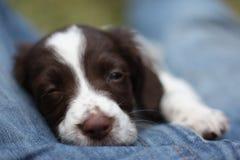 一非常逗人喜爱的年轻肝脏和白色工作键入英国斯伯林格西班牙猎狗宠物gundog小狗 免版税库存图片
