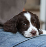 一非常年轻逗人喜爱的肝脏和白色工作键入英国斯伯林格西班牙猎狗宠物gundog 免版税库存照片