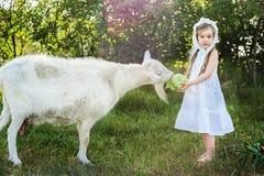 一顶白色礼服和帽子的一个牧羊人女孩喂养与圆白菜叶子的一只山羊 图库摄影