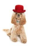 戴一顶红色圆顶硬礼帽的美国美卡犬 库存照片