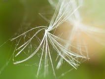 一颗唯一蒲公英种子在蜘蛛网捉住了 库存照片