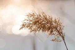 一颗芦苇种子的特写镜头照片 库存图片