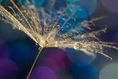 一颗蒲公英种子用水在五颜六色的bokeh背景滴下 选择聚焦 免版税库存照片