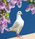 一鸽子白色 免版税库存照片