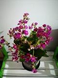 一黑暗的桃红色花命名了长寿 库存照片