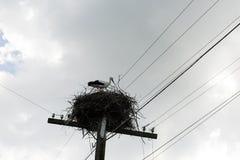 一, 1只雏鸟,坐在巢的小鱼苗野生鹳反对 免版税库存图片