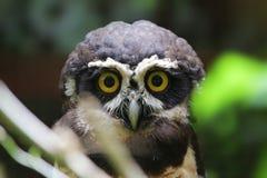 一头戴了眼镜猫头鹰(Pulsatrix perspicillata),哥斯达黎加 免版税库存照片