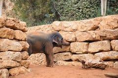 一头亚洲大象在动物园里 免版税图库摄影