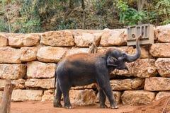 一头亚洲大象在动物园里 库存图片