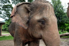一头亚洲大象的特写镜头在清迈,泰国附近的 免版税库存图片