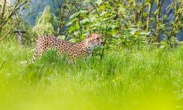 一头亚洲猎豹 免版税库存图片