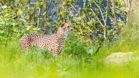 一头亚洲猎豹 免版税图库摄影