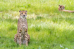 一头亚洲猎豹 库存图片