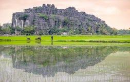 一头人和水牛在稻米在ninh binh,越南 库存图片