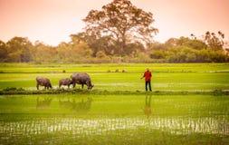 一头人和水牛在稻米在ninh binh,越南2 图库摄影