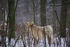 一头公牛在森林里 免版税库存照片