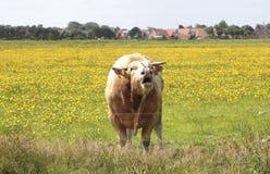 一头公牛 库存图片
